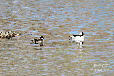 Photograph - Buffleheads by Alyce Taylor
