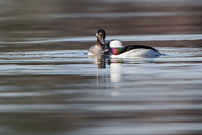 Photograph - Buffleheads by Bill Wakeley
