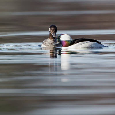 Photograph - Buffleheads Square by Bill Wakeley