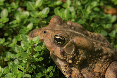 Photograph - Bufo Eyeball To Eyeball by Douglas Barnett