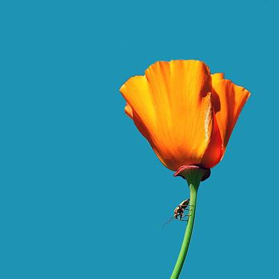Photograph - Bug On A Poppy by Dan Gildor