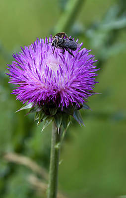 Photograph - Bee On Thistle by Kathy Clark