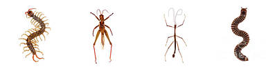 Photograph - Bug Series Long Bugs Set by Clayton Bastiani