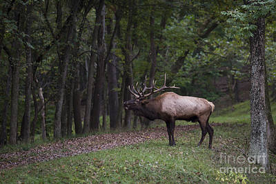 Photograph - Bull Elk Bugle by Andrea Silies