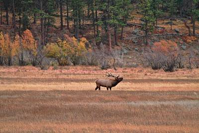 Photograph - Bugling Elk Colorado Prairie by Dan Sproul