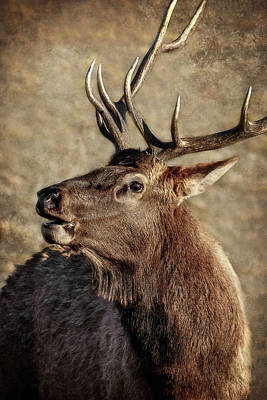 Photograph - Bugling Elk by Wes and Dotty Weber
