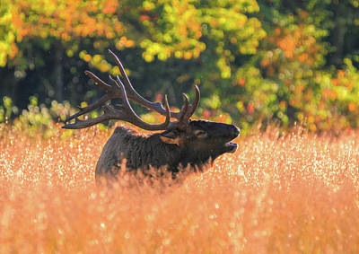 Photograph - Bugling Elk In Tennessee by Dan Sproul