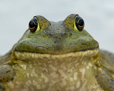 Bullfrog Photograph - Bugsy by Fred Lassmann