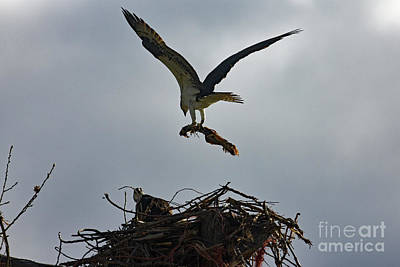 Photograph - Building The Nest by Bob Hislop