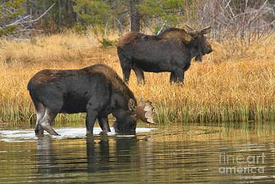 Moose In Water Photograph - Bull And Cow by Adam Jewell