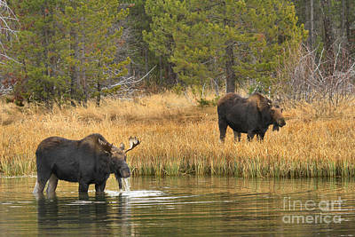 Bull And Cow Moose Art Print by Adam Jewell