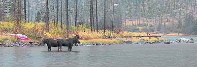 Bull And Cow Moose In East Rosebud Lake Montana Art Print