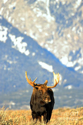 Gros Ventre Photograph - Bull At The Base Of The Tetons by Adam Jewell