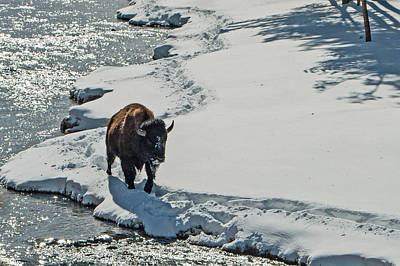 Photograph - Bull Bison Firehole River Winter Yellowstone National Park by NaturesPix