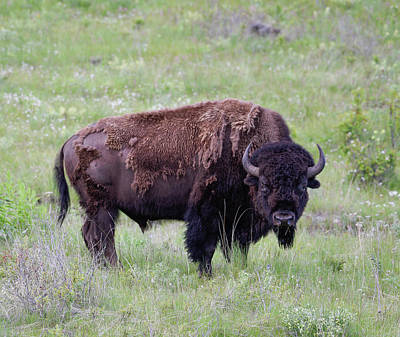 Fury Photograph - Bull Bison Starring Into The Camera by Jerry Voss
