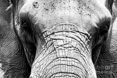 Photograph - Bull Elephant by John Rizzuto