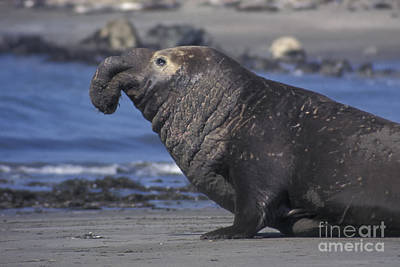 Photograph - Bull Elephant Seal by Stan and Anne Foster