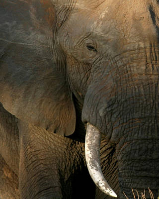 Photograph - Bull Elephant Tanzania by Joseph G Holland