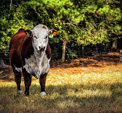 Photograph - Bull by Elijah Knight
