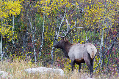 Print featuring the photograph Bull Elk by Aaron Spong