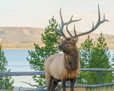 Bull Elk At Yellowstone Art Print by James Udall