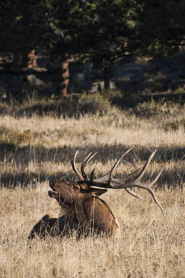 Photograph - Bull Elk Bugle by Aaron Spong