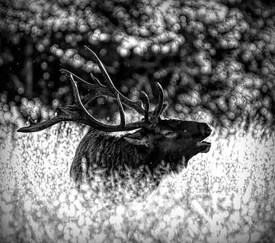 Photograph - Bull Elk Bugle Black And White by Dan Sproul