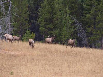 Photograph - Bull Elk Bugling At Yellowstone by David Wilkinson