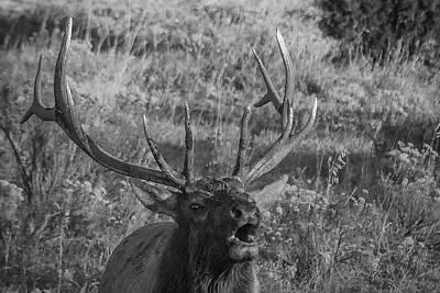 Photograph - Bull Elk Bugling by Joe Hudspeth