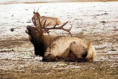 Gelid Photograph - Bull Elk Calls Out by Jeff Swan