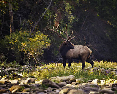 Bull Elk Checking For Competition Art Print