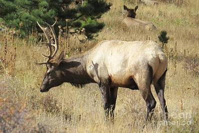 Photograph - Bull Elk by Frank Townsley