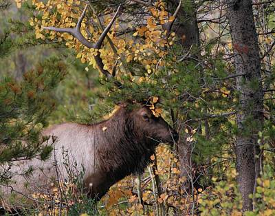 Photograph - Bull Elk In Autumn Leaves by Dan Sproul