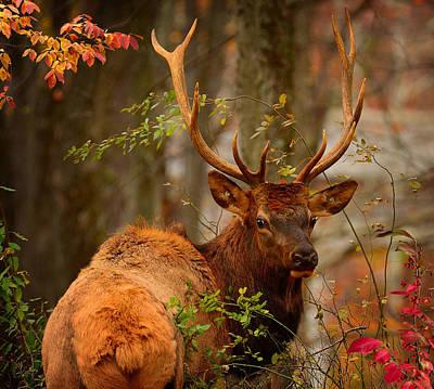 Photograph - Bull Elk In The Forest by Bernadette Chiaramonte