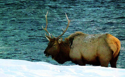 Photograph - Bull Elk In Winter by C Sitton