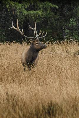 Photograph - Bull Elk In Yellowstone by Dakota Light Photography By Dakota