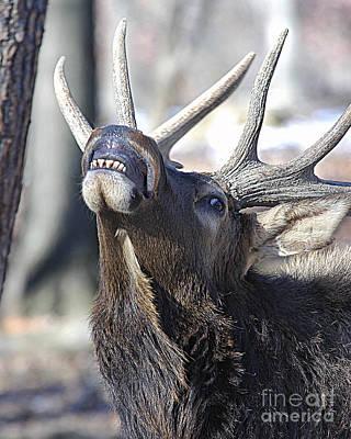 Elk Hide Photograph - Bull Elk Lip Curl Smile by Timothy Flanigan