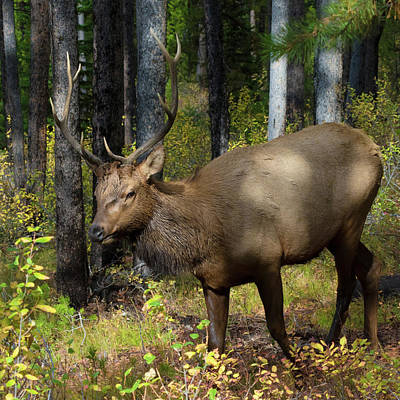 Photograph - Bull Elk On Signal Mountain by Kathleen Bishop