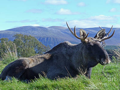 Photograph - Bull Elk by Phil Banks