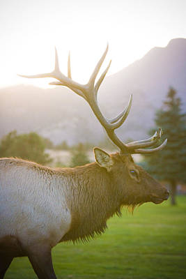 Animal Photograph - Bull Elk Profile by James BO  Insogna
