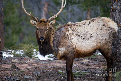 Colorado Wildlife Wall Art - Photograph - Bull Elk by Twenty Two North Photography