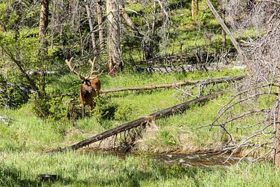 Photograph - Bull Elk Velvet by James BO Insogna