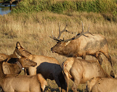 Photograph - Bull Elk With His Harem by Ronald Lutz