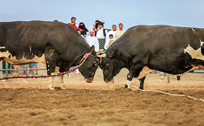 Photograph - Bull Fighting In Fujairah by Alexey Stiop