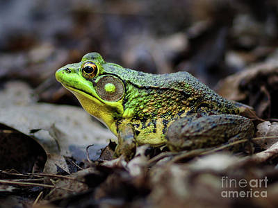 Photograph - Bull Frog by Mark Miller