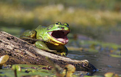 Bull Frog Photograph - Bull Frog by Mircea Costina Photography