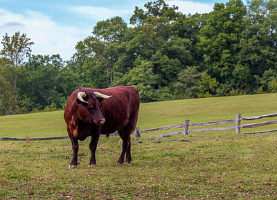 Photograph - Bull In Field by Ed Clark