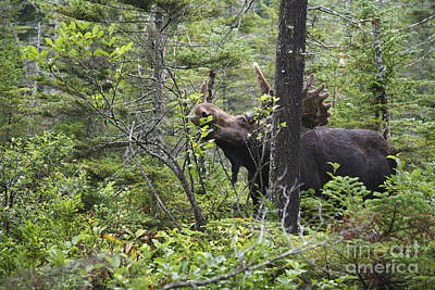 Bull Moose  - White Mountains New Hampshire  Art Print by Erin Paul Donovan