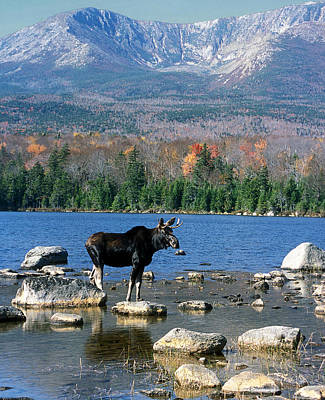 Bull Moose And Mount Katahdin Art Print by John Burk