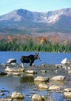 Bull Moose Below Mount Katahdin Art Print by John Burk